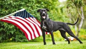 Pitbull américain Photos stock