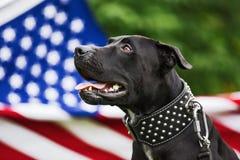 Pitbull américain Photographie stock libre de droits