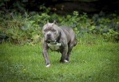 Pitbull azul robusto do nariz que levanta em um campo fotografia de stock royalty free