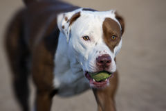 Pitbull with a ball. A red nose pitbull playing with his ball at the park stock photo