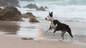 Pitbull on the beach. A pitbull dog is playing at the beach Stock Image