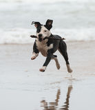 Pitbull on the beach. A pitbull dog is playing at the beach Royalty Free Stock Photos