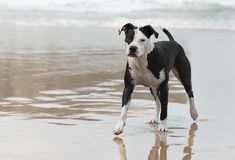 Pitbull on the beach. A pitbull dog is walking on the beach Royalty Free Stock Images