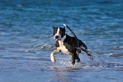 Pitbull biega wzdłuż dennej plaży Obrazy Stock