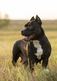 Pitbull. Black pitbull on yellow field Royalty Free Stock Image
