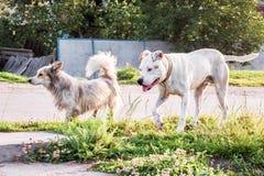 Pitbull blanc de chien sur une promenade avec un chien métis Deux chiens tandis que W images stock