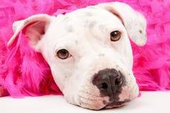 Pitbull blanco joven con la boa rosada fotografía de archivo