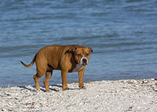 Pitbull blandad avelhund Arkivbild