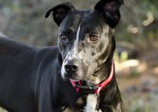 Pitbull blandad avelhund med den röda kragen Arkivbilder