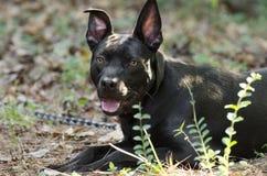 Pitbull blandad avelhund med den röda kragen Royaltyfria Bilder