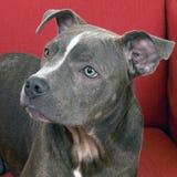 Pitbull blu americano Fotografia Stock