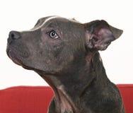 Pitbull blu americano Immagini Stock