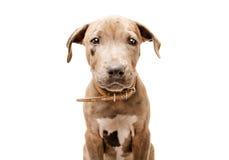 Pitbull bonito do cachorrinho Fotografia de Stock