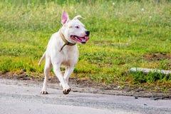 Pitbull branco da raça do cão O cão corre ao longo do caminho Sagacidade de passeio Fotografia de Stock