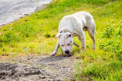 Pitbull branco da raça do cão O cão está procurando o alimento Passeio com a Imagem de Stock Royalty Free