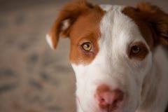Pitbull bronzage et blanc et recherche, prêtant l'attention photo stock