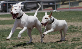 Pitbull and Bull Terrier playing. A white pitbull and a white bull terrier running and playing at the park royalty free stock photography