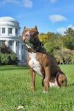 Pitbull cerca de la casa foto de archivo libre de regalías