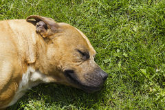 Pitbull-chien terrier américain Photo stock