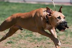 Pitbull com uma ligação do nariz que corre através do parque Imagem de Stock