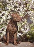 Pitbull con i fiori fotografia stock