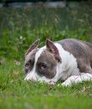 Pitbull con la museruola su erba, cercante fotografia stock libera da diritti
