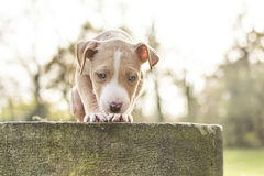 Pitbull cute puppy. Cute looking pitbull puppy want to jump Stock Photos
