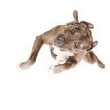 Pitbull dans le saut, vue supérieure Photo stock