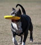 Pitbull, das mit seinem Frisbee spielt Lizenzfreies Stockbild