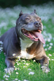 Pitbull de bull. Images stock