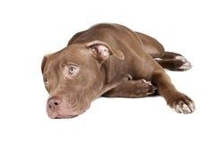 Pitbull de race de chien Photographie stock libre de droits