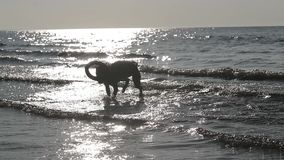 Pitbull del cane che gioca nel movimento lento dell'acqua archivi video