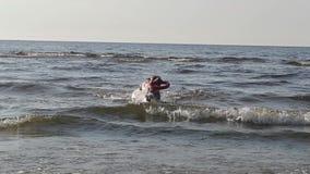 Pitbull del cane che gioca nel movimento lento dell'acqua stock footage