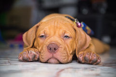 Pitbull del perro soñoliento imagen de archivo libre de regalías