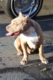 Pitbull Dog Stock Image