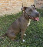 Pitbull Dog Atena. Pitbull Dog ARGENTINA, puppy dog Royalty Free Stock Images