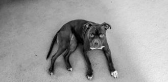 Pitbull dog stock photography