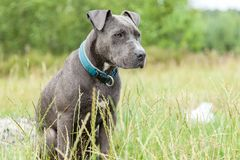 Pitbull dog with blue collar on grass background. A pitbull dog with blue collar on grass background Stock Photo
