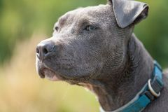 Pitbull dog with blue collar on grass background. A pitbull dog with blue collar on grass background Stock Photos