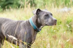 Pitbull dog with blue collar on grass background. A pitbull dog with blue collar on grass background Royalty Free Stock Images