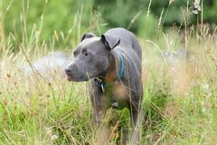 Pitbull dog with blue collar on grass background. A pitbull dog with blue collar on grass background Royalty Free Stock Photos