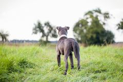 Pitbull dog with blue collar on grass background. A pitbull dog with blue collar on grass background Royalty Free Stock Photography
