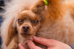 Pitbull dog Close-up Royalty Free Stock Photography