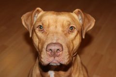 Pitbull dog face. Pitbull dog facing camera, tan, ears perked Royalty Free Stock Images