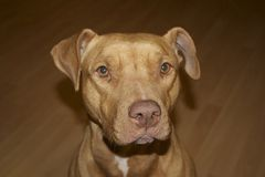 Pitbull dog face sideways stare. Pitbull dog facing camera, tan, ears perked Royalty Free Stock Photography