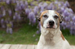 Pitbull dog headshot with deep thoughts Royalty Free Stock Images