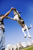 Dog Jumping for Food Stock Photography