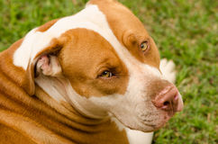 Pitbull dog look. With shiny gold eyes with white and brown coat Royalty Free Stock Image