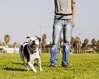 Running Pitbull with Dog Owner at the Park Stock Image