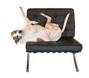 Pitbull Dog on mid century modern barcelona chair Stock Image